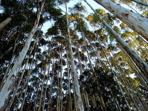 plantando_ilegalidade_eucaliptos_gr
